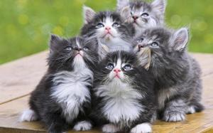 Adorable-Grey-Kittens