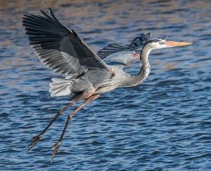 great-blue-heron-steven-fine-cc-by-sa-4-0-wikipedia-600-px-tiny-aug-2016-tetrapod-zoology